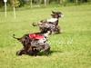 CoursingVillaverla2016w-076 (Jessica Sola - Overlook) Tags: dogs sighthounds afghanhounds greyhounds saluki barzoi italiangreyhounds irishwolfhounds lurecoursing lure race run dograces field greengrass