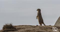 wildlands-emmen-24 (voorhammr) Tags: 2018 juul robin apen emmen giraffen ijsberen neushoorn nijlpaard pinquins prairiehonden vlinders wildlands zeeleeuwen zoo drenthe nederland nl