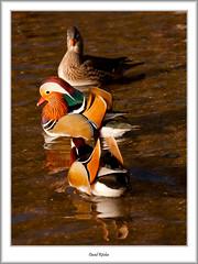 Mandarin In Triplicate (flatfoot471) Tags: 2017 balloch bird duck mallard mandarin march nature normal riverleven rural scotland spring unitedkingdom westdunbartonshire gbr
