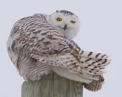 Snowy with Attitude! (thekdog) Tags: sharecangeo canon canada snowyowl owl raptor ontario keithgeorgephoto bird white winter canoncanada nature amazing