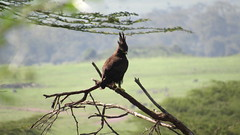 Long-Crested Eagle (marybethsemosky) Tags: africa bird eagle long crested ndutu tanzania serengeti