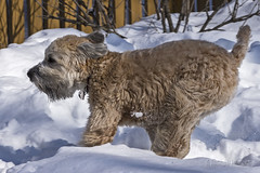 Running (A.Joseph Images) Tags: dog d7200 pet backyard white brown wheaten terrier animal black