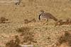 Houbara Bustard (Chlamydotis undulata fuertaventurae) (gcampbellphoto) Tags: houbara bustard chlamydotis undulata fuertaventurae bird avian nature widlife lanzarote spain gcampbellphoto field animal soil