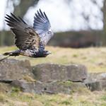 Black-Chested Buzzard-Eagle thumbnail