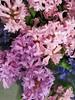 Friday Colours - Hyacinth (Pushapoze (nmp)) Tags: hyacinth