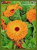 Benidorm. Flores 01 (ferlomu) Tags: alicante benidorm ferlomu flor flores flower