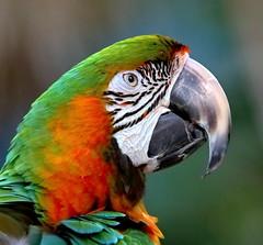 The Durante Beak (Darts5) Tags: macaw macawparrot parrot parrots parrothead jimmybuffett bird birds ef100400mmlll 7d2 7dmarkll 7dmarkii 7d2canon closeup canon7d2 canon7dmarkll canon7dmarkii canon canonef100400mmlii
