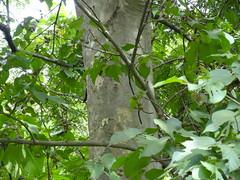 Mallotus nudiflorus_SGNP2 (Alka Khare) Tags: mallotus euphorbiaceae floraofmaharashtra
