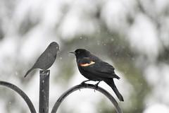 Red Winged Blackbird & friend (karma (Karen)) Tags: baltimore maryland home backyard birds redwingedblackbird dof bokeh hbw topf25