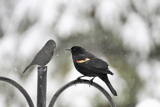 Red Winged Blackbird & friend