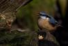 A Selective Feeding  Nuthatch ( Sitta europaea) (neil 36) Tags: selective feeding nuthatch beautiful colour seed gnarled log sitta europaea
