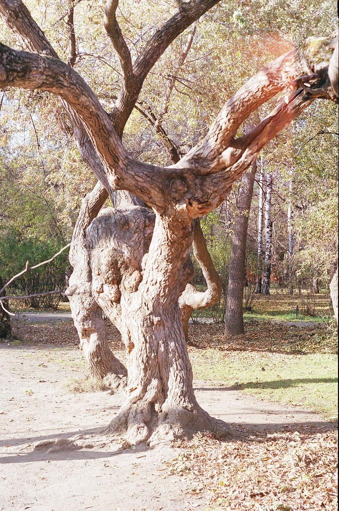 фото: Дерево в Зелёной Роще