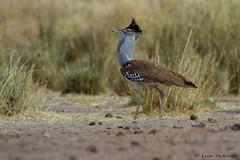 Kori Bustard (leendert3) Tags: leonmolenaar southafrica krugernationalpark wildlife nature birds koribustard coth coth5 ngc npc