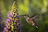 2018 Allen's Hummer # 13 (Tongho58) Tags: huntingtonbeach hummer hummingbirds prideofmadeira echiumfastuosum