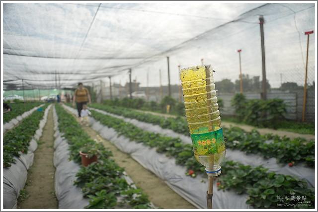 善化草莓 來去晴空農場找無農藥栽種的草莓 (12)