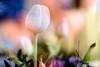 (Femme Peintre) Tags: tulpe tulip blume flower fleur natur frühling doppelbelichtung