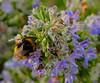Explorando entre los piscilos (angelalonso4) Tags: canon tamron flora 90 8 100 orange nature macro makro insecto eos 1300 plants azul blue natural abejorro polen