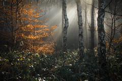 Showtime (Glenn D Reay) Tags: woodland woods light mist misty morning silverbirch waldridgefell chesterlestreet pentaxart pentax k30 sigma1770hsm glennreay congburnwood