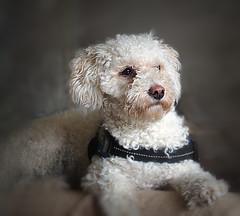 Betsy-Lou (Smiffy'37) Tags: poodle dog animal white pet smileonsaturday beautyofthebeast