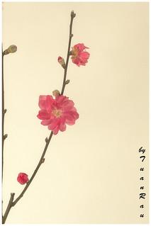 SHF_4135_Peach blossom