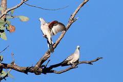 Peaceful Doves, Western Sydney (Harlz_) Tags: peacefuldove geopeliaplacida native dove australia