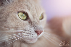 Creme (Ark. Us.) Tags: feline cat portrait pet closeup cute soft red pink big yellow eyes green nose whiskers fur furry animal light