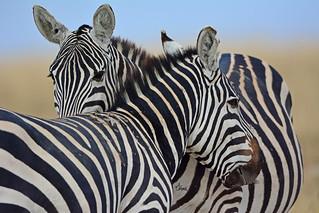 Zebra Rivalry - 9063b+