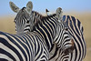 Zebra Rivalry - 9063b+ (teagden) Tags: zebra zebras commonzebra africanzebra jenniferhall jenhall jenhallphotography jenhallwildlifephotography wildlifephotography wildlife nature naturephotography photography wild nikon amboselinationalpark amboseli national park amboselikenya kenya kenyawildlife kenyaafrica safarisunday safari kenyasafari africasafari africansafari dkgrandsafaris africa africanwildlife african africanphotography