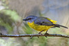 eastern yellow robin (Fat Burns ☮ (on/off)) Tags: easternyellowrobin eopsaltriaaustralis smallbird robin nikond500 sigma150600mmf563dgoshsmsports sandycamproadwetlands wynnum