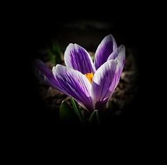 Crocus Pickwick (mamietherese1) Tags: fleursetpaysages ngc magicunicornverybest sublimeflower world100f npc floralessence macrodreams diamondclassphotographer flickrdiamond