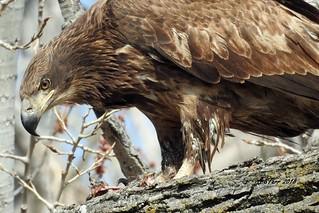 DSCN5513 immature american bald eagle