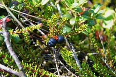 Black berries (Steenjep) Tags: natur macro closeup nature hede lyng heath bær berry black sortbær