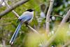Azure-winged Magpie (Claudine Lamothe) Tags: azurewingedmagpie birds corvids japan kantou kasaiseasidepark places tokyo
