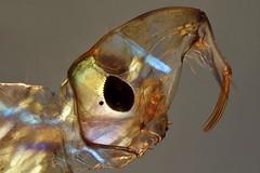 Chaoboridae larva (mr.sansibar) Tags: jansjö diptera arthropoda aquatic chaoboridae pondlife planapo insect focusstacking olympusbh2 photomicrography microscopy heliconfocus larva glassworm phantommigde polarizedlight