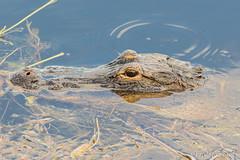 American Alligator (Alligator mississippiensis) (Frode Jacobsen) Tags: americanalligator alligatormississippiensis reptile frodejacobsen florida canoneos7dmarkii canonef30040lisusm