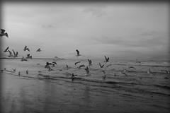Seagulls (ToFotoPloeg) Tags: seagull meeuw bird birds nature natuur sea zee bw blackandwhite black white zwartwit wit zwart ocean water sky beach wave sand people