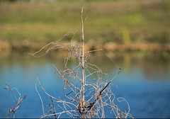 All Twisted Up (ACEZandEIGHTZ) Tags: canal nikon d3200 bokeh twigs everglades bigcypress turnerriver road driedout nature