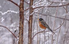 Robin in the snow (snooker2009) Tags: bird winter migration spring robin tree storm snow pennsylvania american
