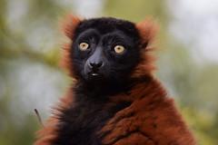 Red ruffed lemur @ Artis 27-04-2017 (Maxime de Boer) Tags: red ruffed lemur rode vari aap monkey natura artis magistra zoo amsterdam animals dieren dierentuin gods creation schepping creator schepper genesis