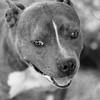 Meatloaf10Mar201811-Edit.jpg (fredstrobel) Tags: dogs pawsatanta phototype atlanta blackandwhite usa animals ga pets places pawsdogs decatur georgia unitedstates us