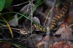 Vipera aspis (AlexandreRoux01) Tags: asp viper vipère aspic vipera aspis