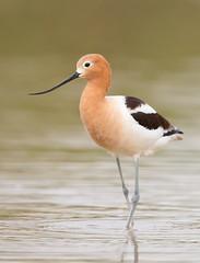 American Avocet.Gilbert water ranch AZ. (mandokid1) Tags: canon canon500f4 1dx birds shorebirds arizona
