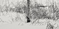 Birch and reeds (Stefano Rugolo) Tags: stefanorugolo pentax k5 pentaxk5 smcpentaxm100mmf28 ricohimaging monochrome reeds birch blackandwhite snow impression hälsingland sweden hudiksvall sverige abstract