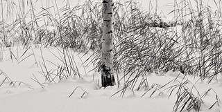 Birch and reeds