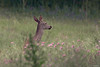 Perfiles de la dehesa (christian.hsb90) Tags: nikond7100 nikon200500 lajanda dehesa cadiz cierva atardecer wildphotography wild wildlife deer