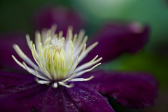 From the heart... (setoboonhong) Tags: nature flower clematis macro heart stamens pistil pollen depth field bokeh blur colours centre petals