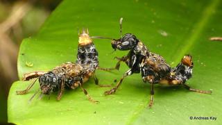 Courtship of Transvestite Rove Beetles