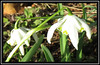 Vernal Equinox - Open for poem (M E For Bees (Was Margaret Edge The Bee Girl)) Tags: snowdrops galanthus white flowers flowerscolors garden outdoors canon green double growing flowering petals plants spring vernalequinox nature sun poem