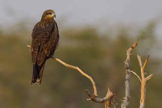 Black Kite | Milvus migrans