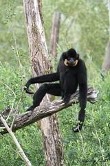 Gibbon à favoris roux_MIKADO (Passion Animaux & Photos) Tags: primate gibbon favoris roux monkey crestedyellowcheekedgibbon nomascus gabriellae parc animalier saintecroix france